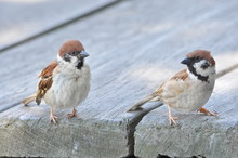 Eurasian Tree Sparrows On Wooden Deck