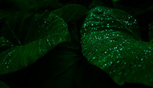 Green Leaf With Rain Drop In Jungle. Water Drop On Leaves. Green Leaf Texture Background With Minimal Pattern. Green Leaves In Tropical Forest On Dark Background. Greenery Wallpaper. Botanical Garden.
