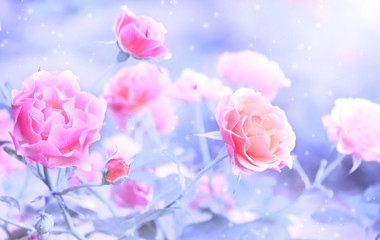 Beautiful magic winter scene with rose flowers and snow