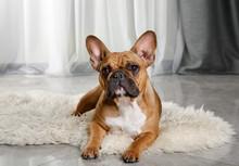 Cute French Bulldog Lying On A Fur Rug