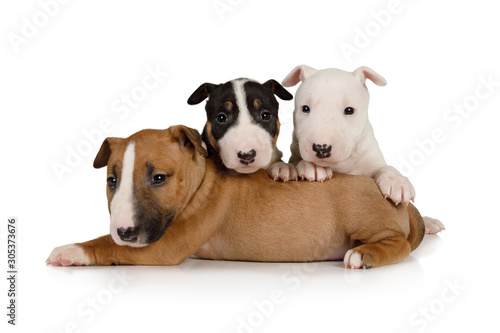 Three brother Miniature Bull Terrier puppies of different colors Fototapet