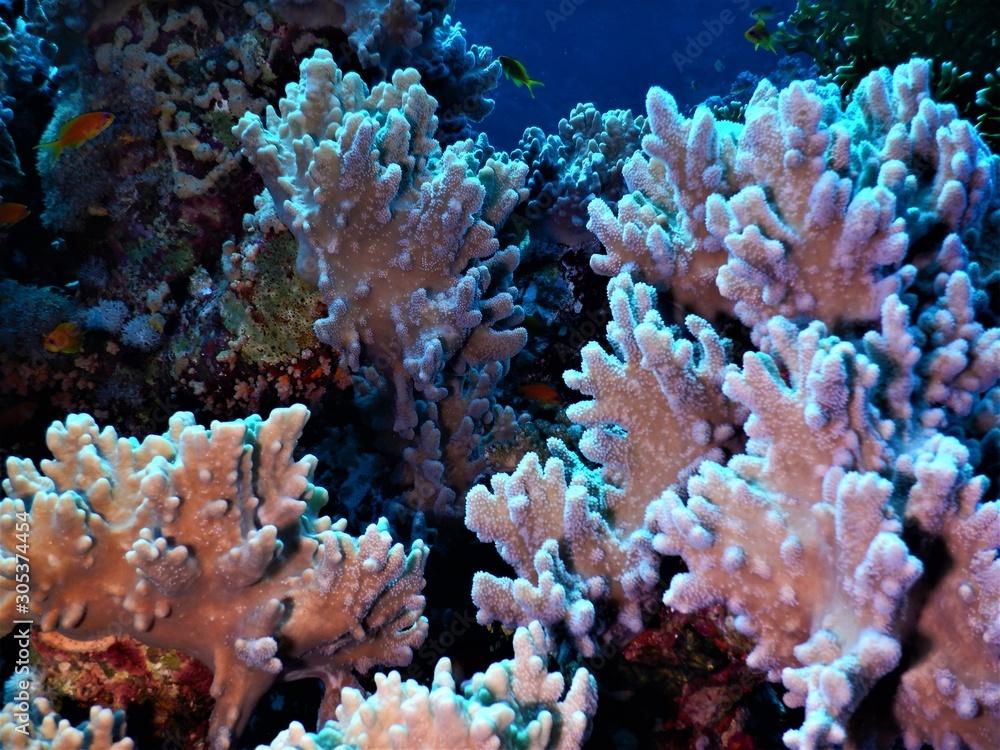Fototapeta morze czerwone koral biel nurkowanie