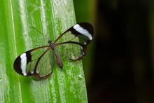 Glasswing Butterfly (Greta Oto) On A Green Leaf.