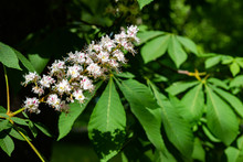 White Tree Flowers Of Aesculus Hippocastanum