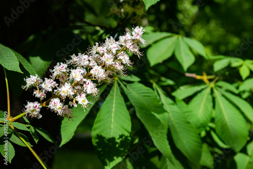 Photo White tree flowers of aesculus hippocastanum