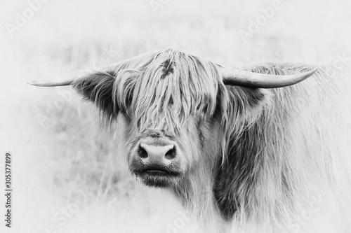 Fototapety, obrazy: Schottisches Hochlandrind auf der Weide, Highland Cow