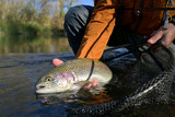 Fototapeta Tęcza - capture of a rainbow trout by a fly fisherman in autumn
