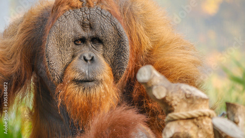 Orangutan male very close up in green outdoor enclosure environment