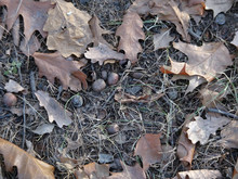 Brown Dried Fallen Leaves And Acorns On The Ground