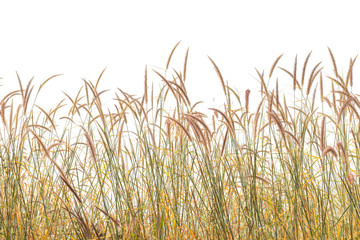 Reeds of grass isolated and white background.