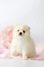 Beautiful Pomeranian Spitz Pup...