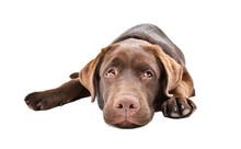 Sad Labrador Puppy Lying Isola...