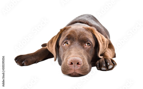 Sad labrador puppy lying isolated on a white background Tableau sur Toile