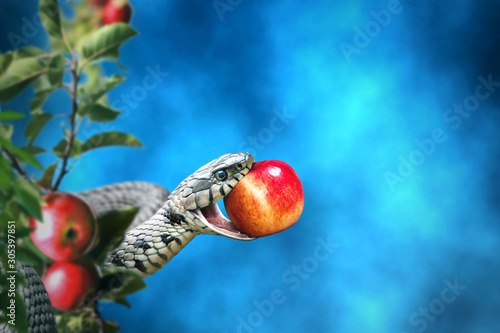 Fotografia Snake with an apple fruit in its mouth