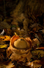 Collared Earthstar, A Kind Of ...