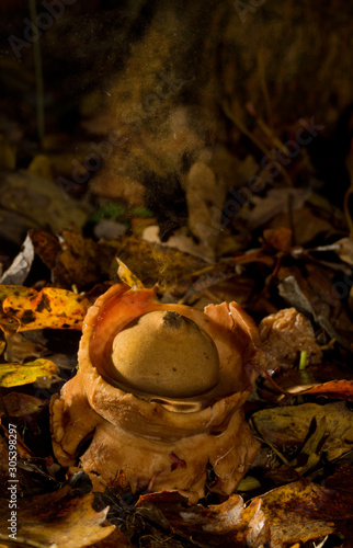 Collared earthstar, a kind of puffball, releasing a cloud of spores Wallpaper Mural