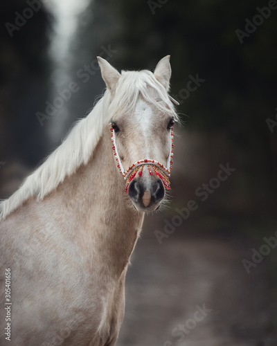Obraz beautiful welsh pony with red and gold halter in forest in autumn - fototapety do salonu