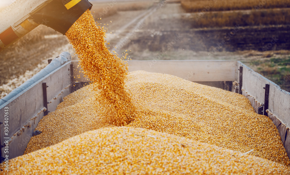 Fototapeta Machine for separating corn grains working on field and filling tractor trailer with corn. Autumn time. Husbandry concept.