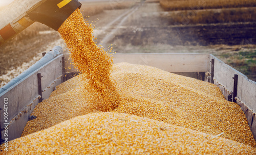 Machine for separating corn grains working on field and filling tractor trailer with corn. Autumn time. Husbandry concept.