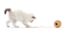 Ragdoll Cat, Kitten Playing With Cotton Yarn. Isolated