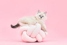 Ragdoll Cat, Small Cute Kitten...