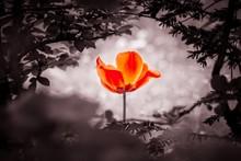 Red Tulip Soul In Black White ...