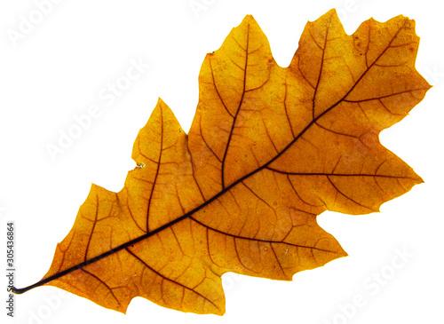 Fotografering Grossa foglia secca dorata retroilluminata con sfondo bianco