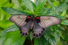 Female Papilio Memnon, The Gre...