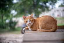 Portrait Of Ginger Cat In The ...
