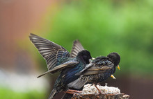 Starlings At Feeding Time