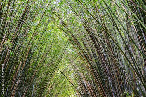 Canvas Prints Palm tree Plantação de bambu, amplamente utilizada na construção e culinária, por muitos da cultura chinesa