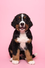 Cute Bernese Mountain Dog Sitting On A Pink Background With Mouth Open