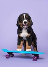 Cute Bernese Moutain Dog Puppy...