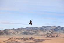 American Brown Bald Eagle In F...