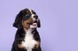 Leinwandbild Motiv Portrait of a bernese mountain dog puppy looking up on a purple background