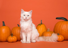 Pretty White Long Haired Ragdoll Cat With Blue Eyes Sitting Between Orange Pumpkins On An Orange Background Looking At The Camera
