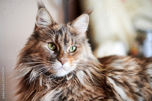 Fototapeta Maine coon cat, close up. Funny, cute cat with marble fur color. Largest domesticated breeds of felines. Soft focus. obraz
