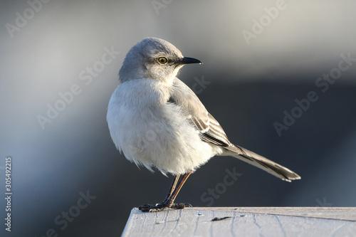 Canvas Print Northern mockingbird