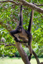 Spider Monkey In Peruvian Amazon