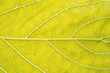 canvas print picture - Life Concept Macro yellow Leaf texture