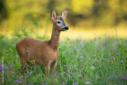 Foto op Plexiglas Ree Young roe deer, capreolus capreolus, buck with small antlers grazing on a green meadow in summer. Sunrise in nature with wild animal. Mammal feeding on wildflowers in wilderness