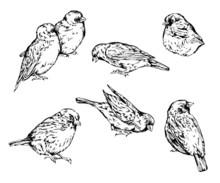 Hand Drawn Realistic Sparrow B...