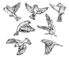 Hand Drawn Realistic Sparrow Birds Vector Set.