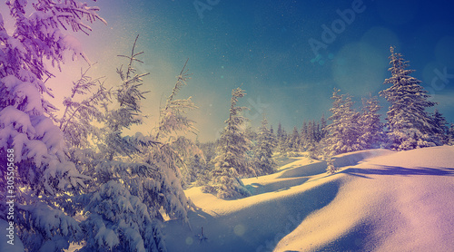 Foto auf Leinwand Blaue Nacht Winter background of snow and frost with free space for your decoration. Fantastic winter forest landscape in the sunset. Icy snowy fir trees glowin in sunlight. winter holiday concept.