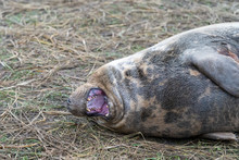 Adult Yawning Seal On Beach At Donna Nook