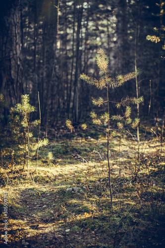Młoda sosna w lesie o zachodzie słońca. Rosyjska natura.