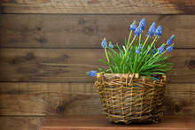 Flowering Common Grape Hyacinths In A Woven Wicker Basket On Wooden Background