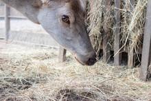 Gray Deer Head Close Up Portrait On Feeder Background