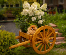 Red Haired Fluffy Pomeranian S...