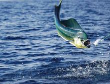 Airborne Mahi Mahi Or Dolphin Fish